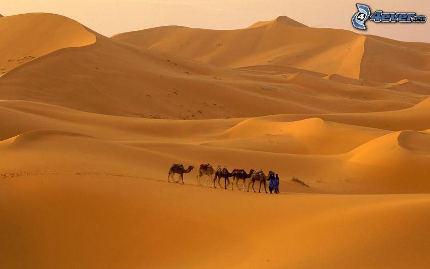 Beduini, wielbłądy, pustynia
