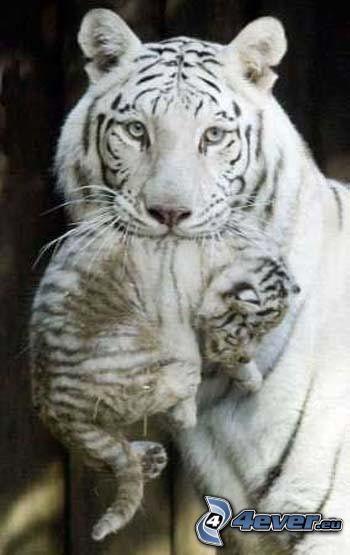 białe tygrysy, młode