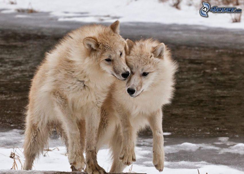 białe wilki, śnieg