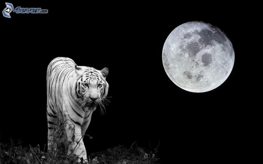 biały tygrys, pełnia