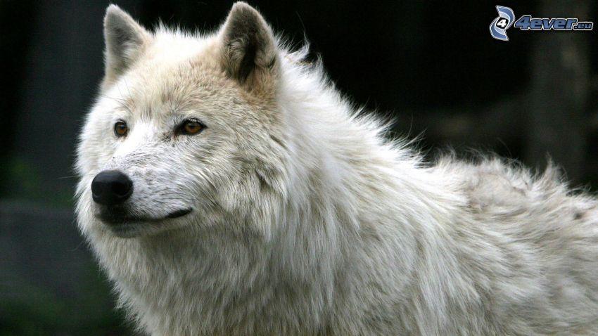 biały wilk, spojrzenie