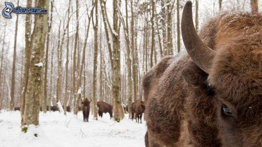 bizon, zaśnieżony las