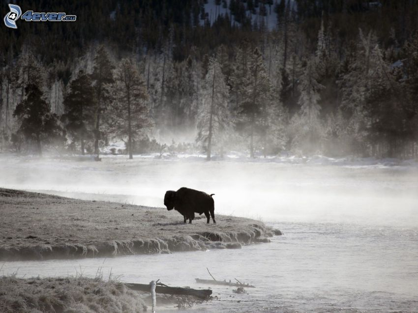 bizon, zimowy krajobraz, przyziemna mgła