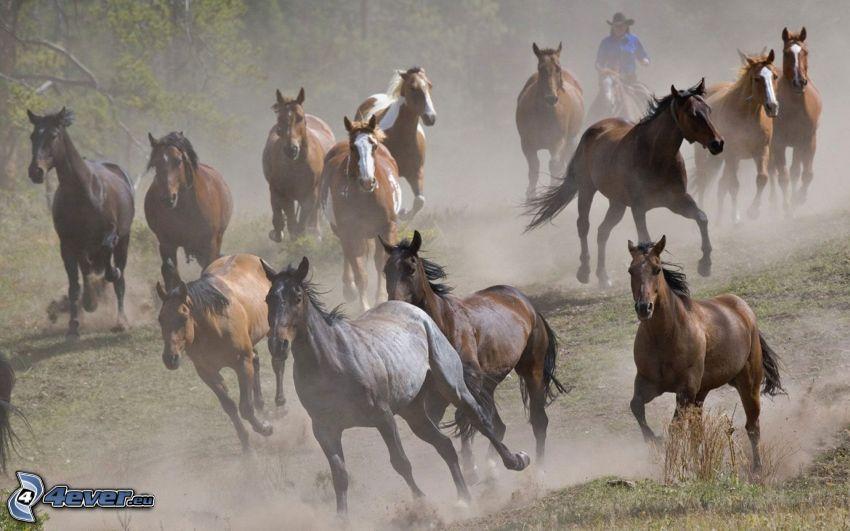 brązowe konie, stado koni