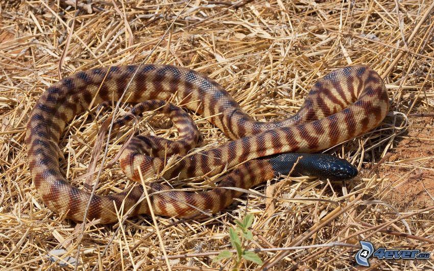 brązowy wąż, słoma