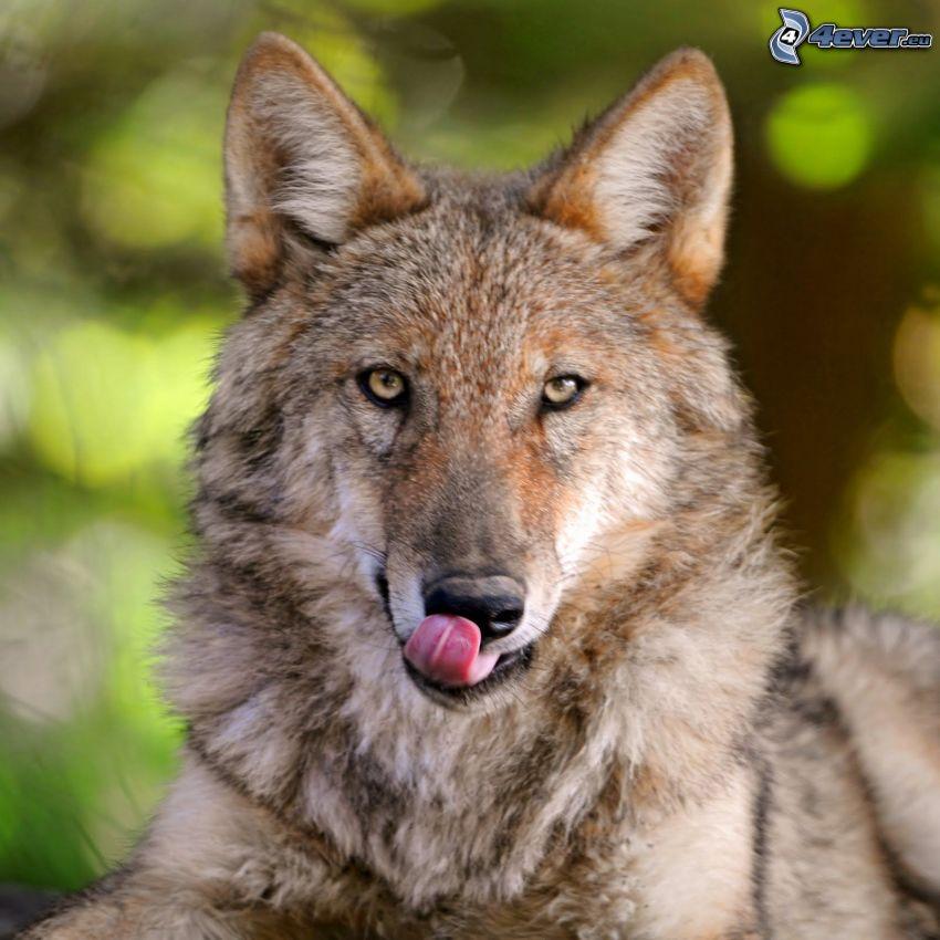brązowy wilk, pyszczek, język
