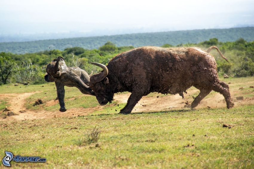 byk, słonica, bójka