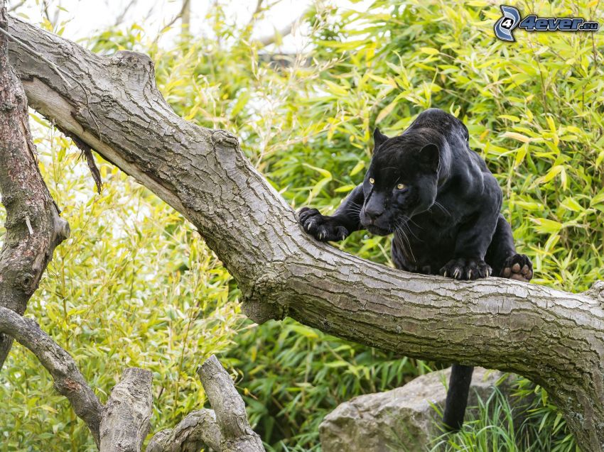czarna pantera, drzewo