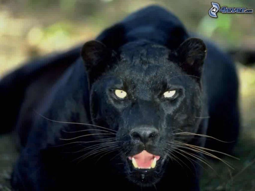 czarna pantera, puma, dzicz