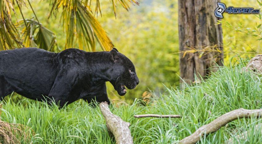 czarna pantera, trawa