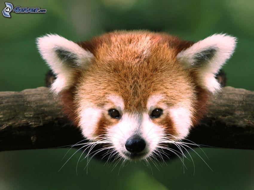 czerwona panda, głowa
