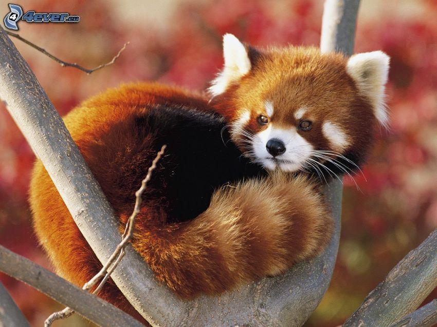 czerwona panda, konar