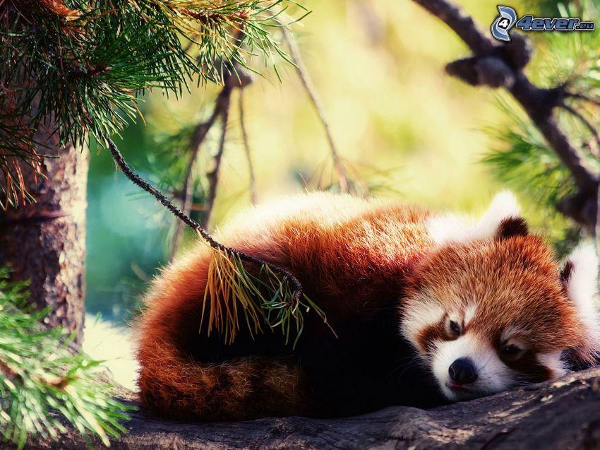 czerwona panda, odpoczynek