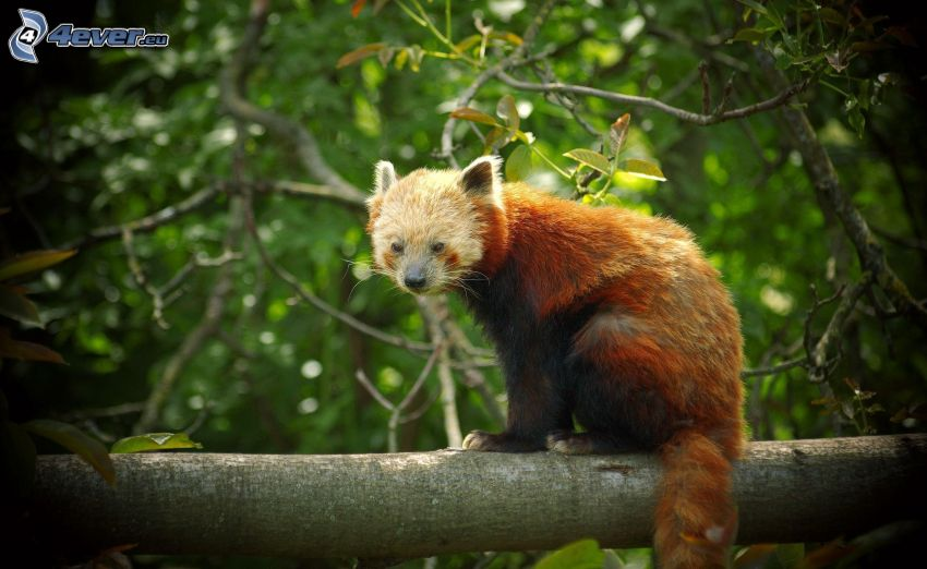 czerwona panda, plemię