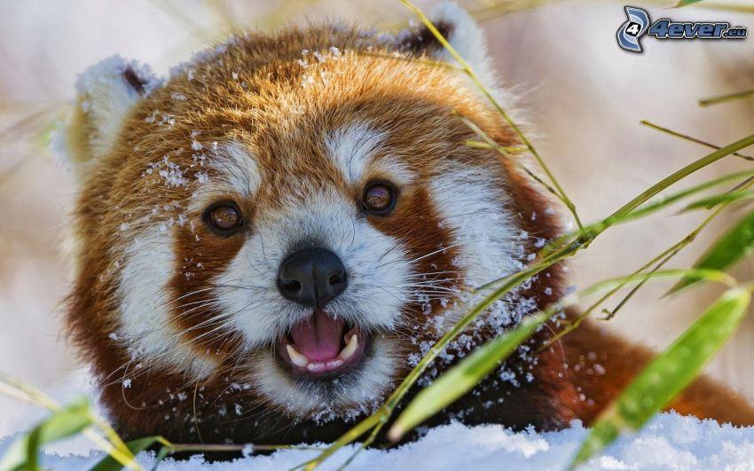 czerwona panda, śnieg