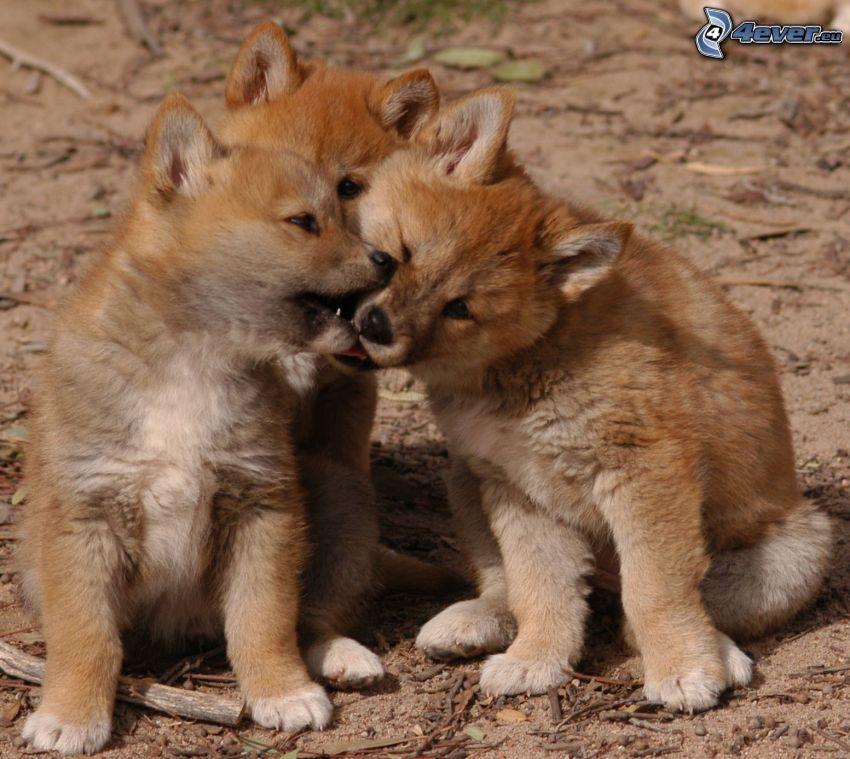dingo, młode