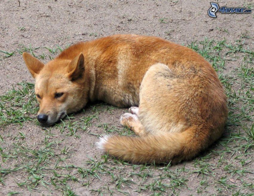 dingo, odpoczynek