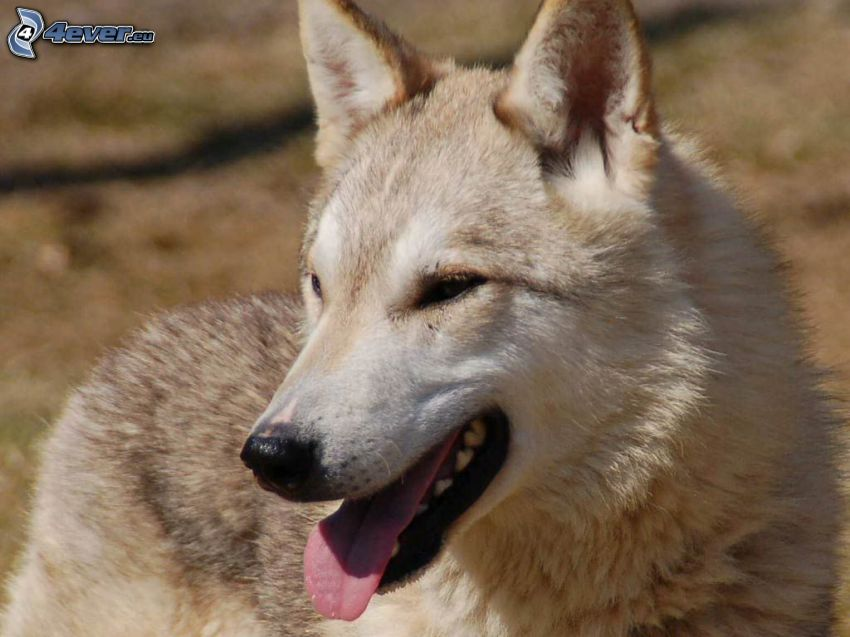 dingo, wystawiony język