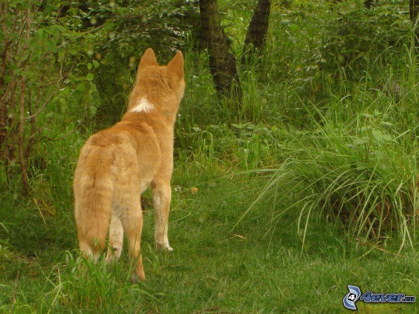 dingo, zieleń