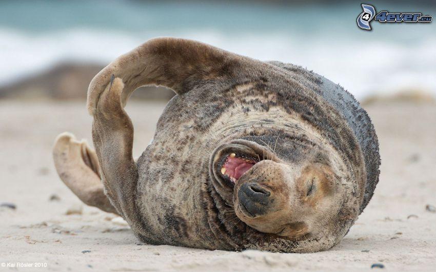 foka, plaża