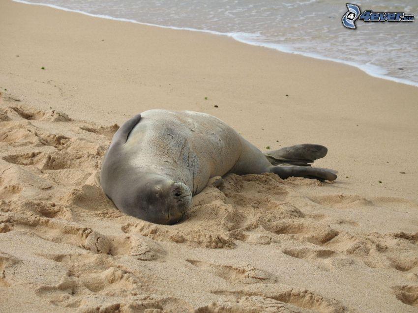 foka, plaża piaszczysta
