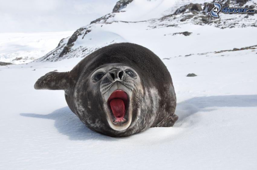 foka, śnieg