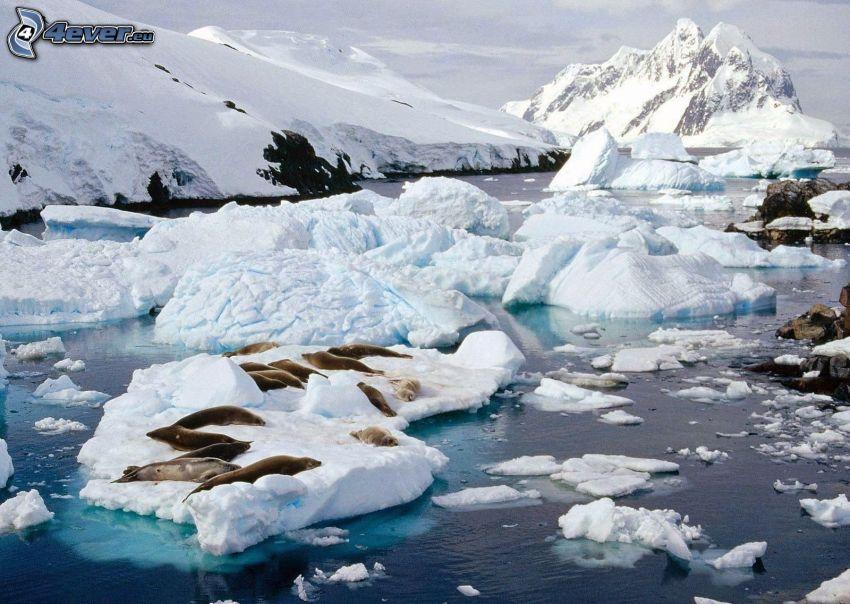 foki, lodowce, biegun północny