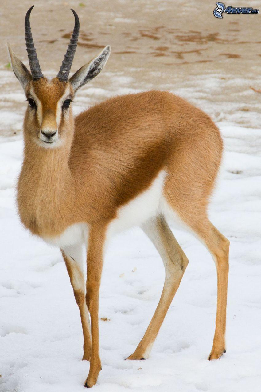 gazela, śnieg