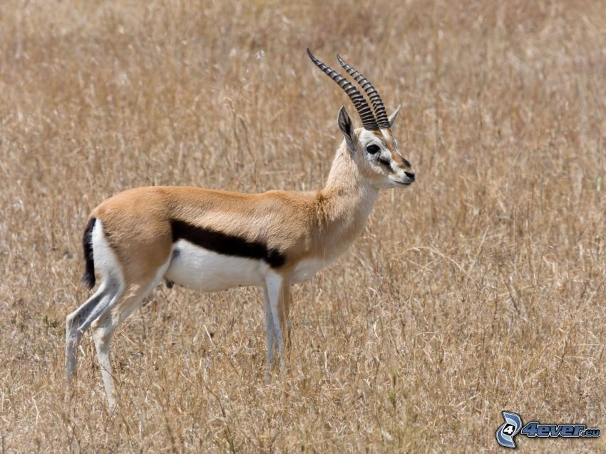 gazela, sucha trawa