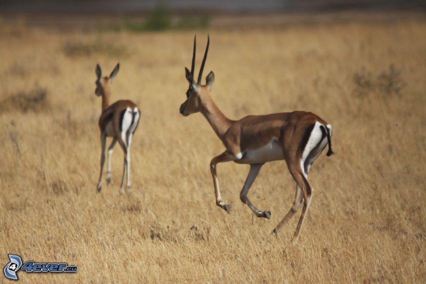gazele, sucha trawa