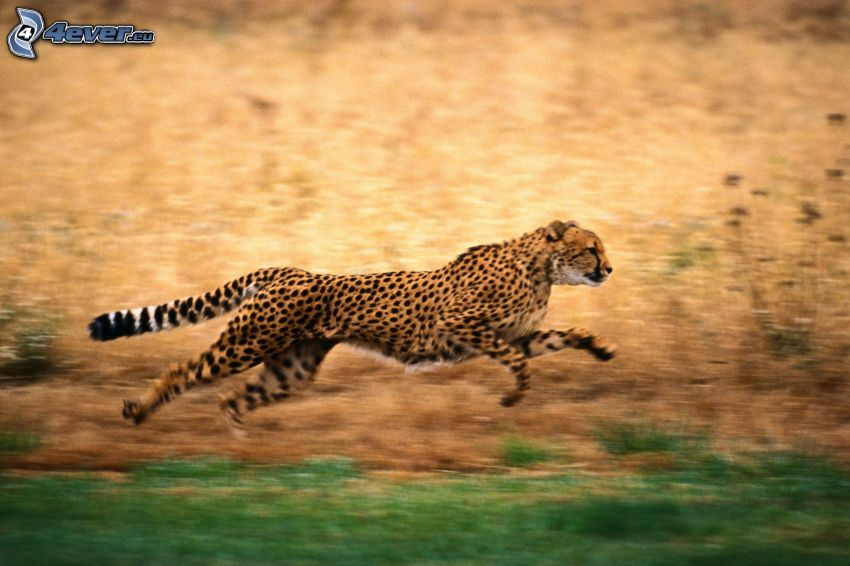 gepard, bieg