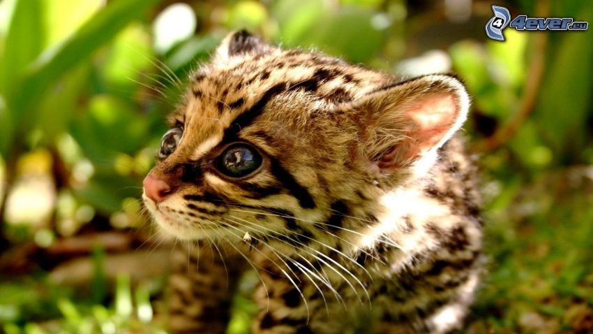 gepard, młode