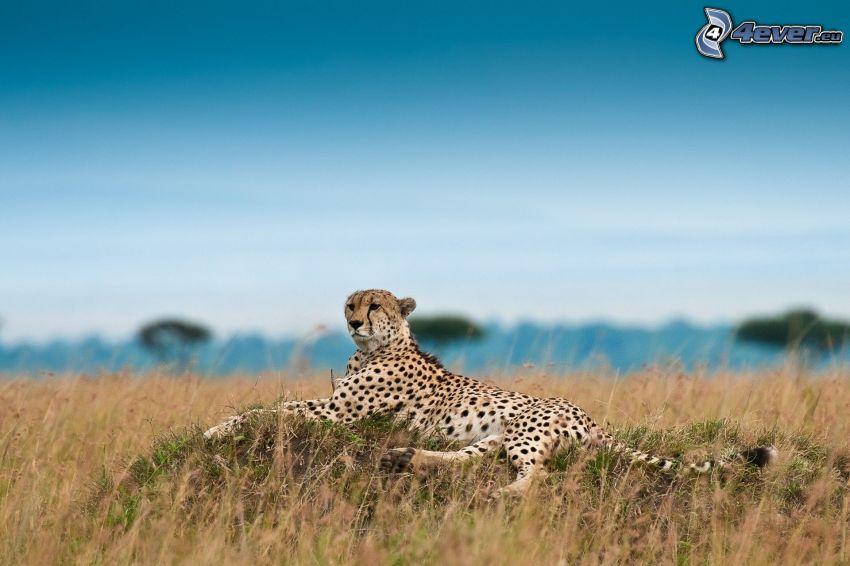 gepard, sucha trawa