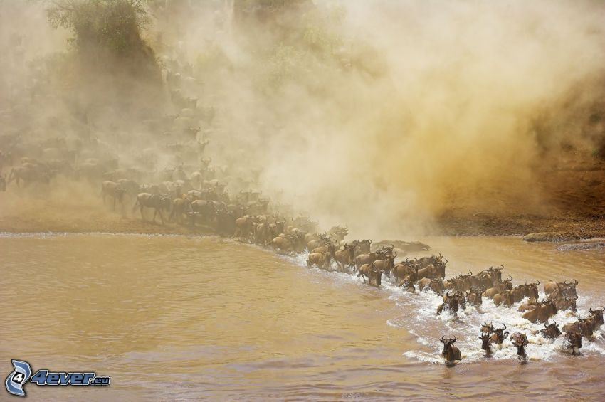 gnu, mgła, rzeka, stado zwierząt