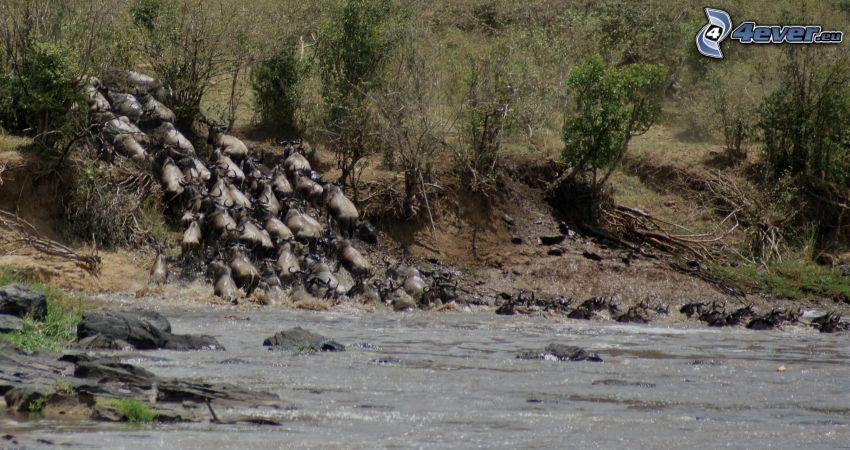 gnu, rzeka, stado zwierząt