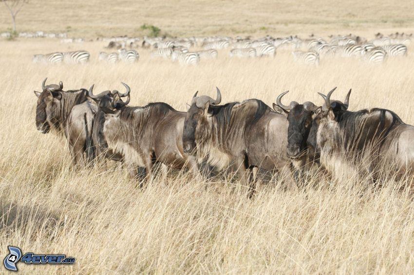 gnu, zebry, sucha trawa