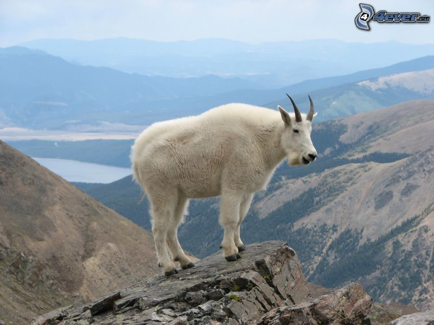 górskie kozice, widok ze skał, wzgórza