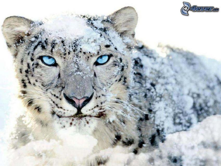 irbis, niebieskie oczy, śnieg