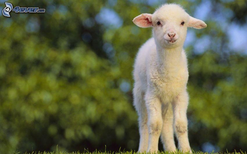 jagnię, owieczka
