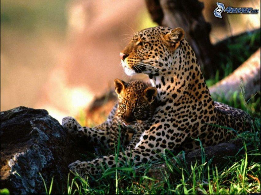 jaguar, młode, dzicz