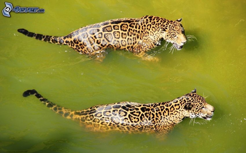 jaguar, woda