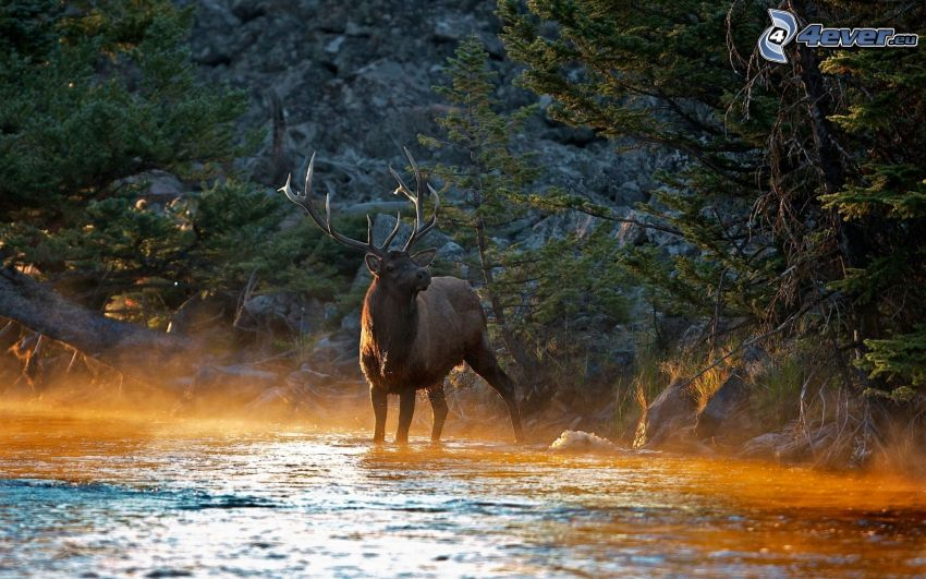 jeleń, las, rzeka