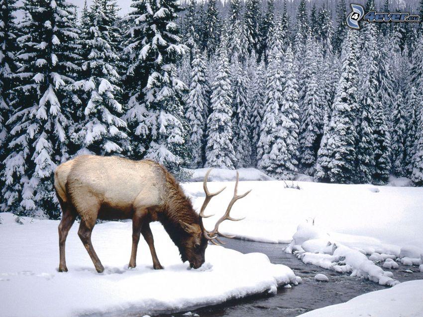 jeleń, zaśnieżony las, strumyk