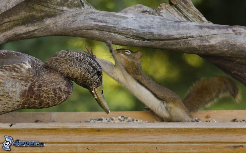 kaczka, wiewiórka, drewno