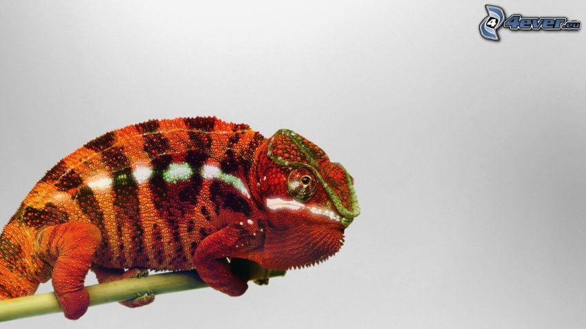 kameleon, łodyżka