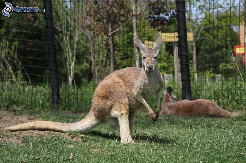 kangury, ogrodzenie z drutu