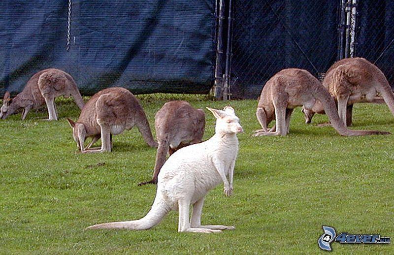 kangurzątko, kangury, ogrodzenie z drutu
