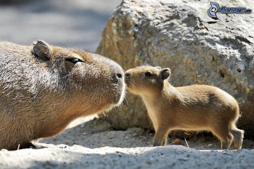 kapibara, młode
