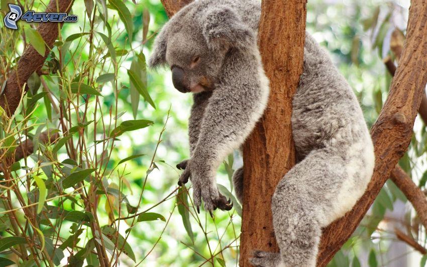 koala, spanie, eukaliptus