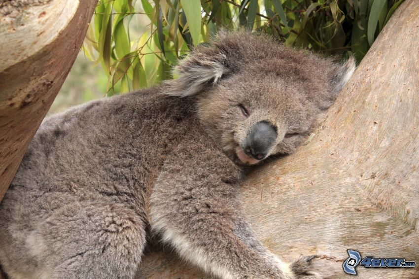 koala, spanie